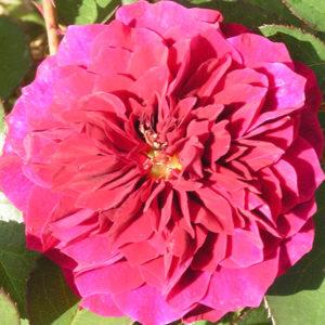 Prospero Shrub Rose