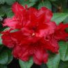 Rhododendron scarlet wonder