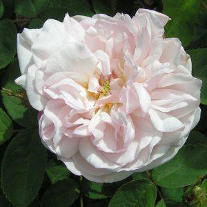 Alfred De Dalmas moss rose