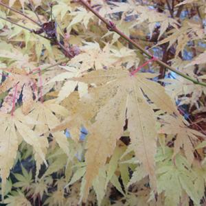 Acer palmatum 'Sango-kaku' AGM