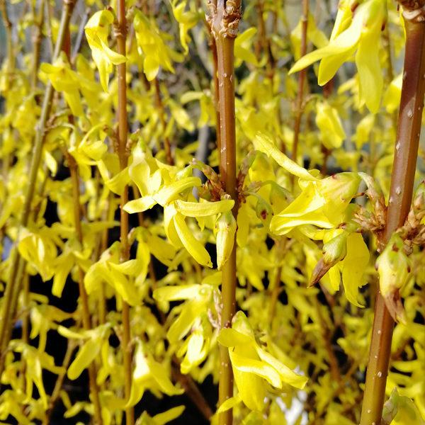 Forsythia x interm. 'Minigold'
