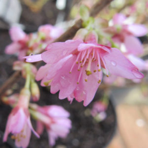 Prunus incisa Paean