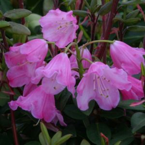 Rhododendron Bow Bells