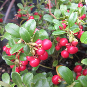 Vaccinium vitis-idaea 'Miss Cherry'