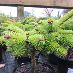 Abies nord. 'Dobrichovice'