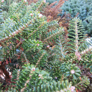 Abies Koreana Alpin Star