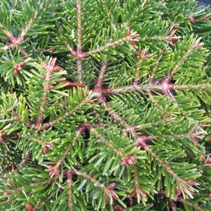 Abies nord. 'Peve Hasselt' (synon. 'Hasselt')