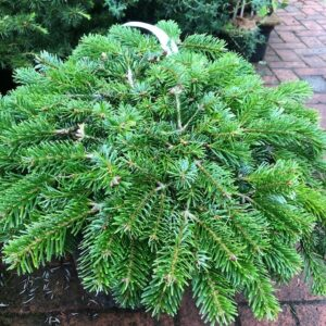 Abies nord. 'Peve Hasselt'