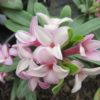 Daphne transatlantica 'Pink Fragrance'