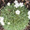 Dianthus Microlepis 'Eira Wenn'
