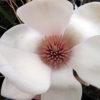 Magnolia Athene