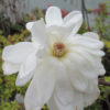 Magnolia loebnerii 'Wildcat'