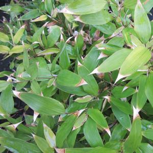 Shibataea kumasasa
