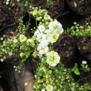 Spirea Prunifolia Plena