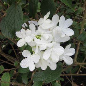 Viburnum Plic. 'Summer Snowflake' AGM