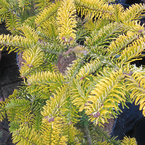 Abies nordmanniana 'Golden Spreader' AGM