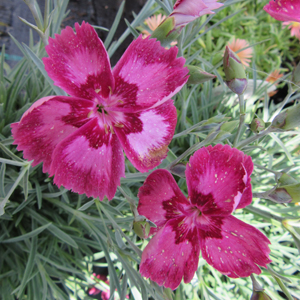 Dianthus 'Angel of Desire'
