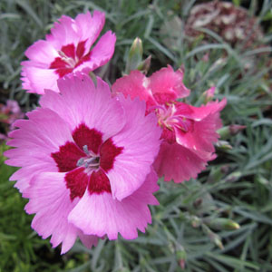 Dianthus Angel of Peace