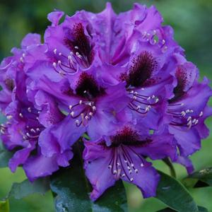 Rhododendron Orakel