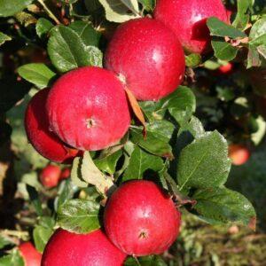 apple red devil