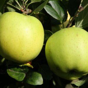 Greensleeves apple
