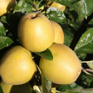 Herefordshire Russet Apple
