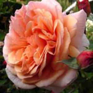 Rosa Charles Austin
