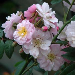 Rosa Little Rambler