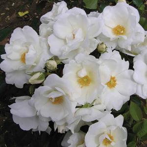 Rosa White Star