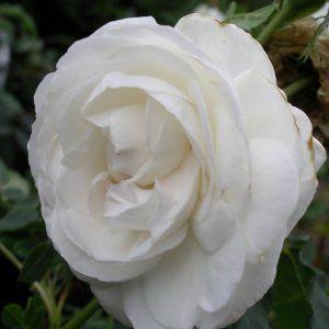 Rosa boule de neige
