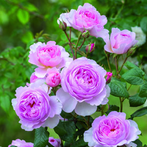Rosa The Ancient Mariner
