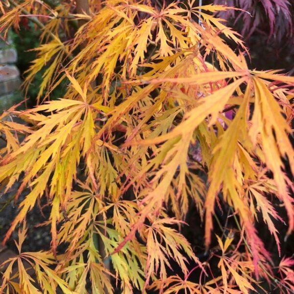 Acer palm. diss. 'Rubrifolium'