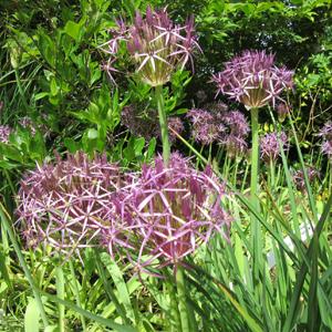 Allium Christophiii