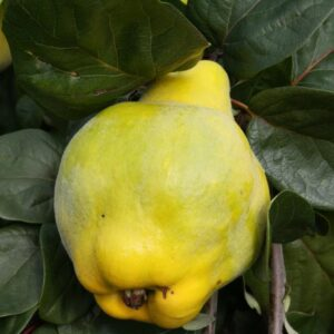Portugal Quince