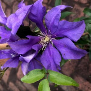 Clematis 'Olympia'
